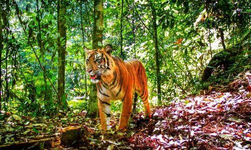 Фрагментация лесов приводит к исчезновению тигров на суматре