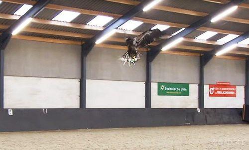 Голландская полиция обучает орлов перехватывать дроны (видео)