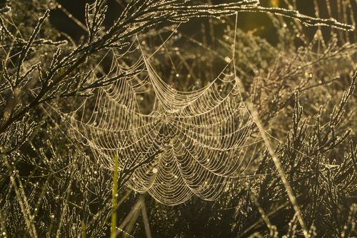 Пауки плетут паутину для армированного бионического шелка