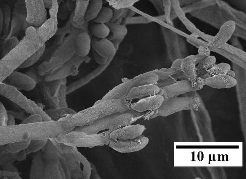 Топливо из растений: грибы-паразиты на службе у людей