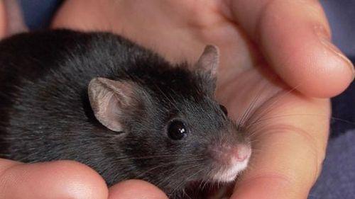 Ученые нашли возможность дистанционного управления мышами