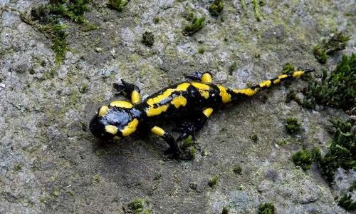 Ученые: обнаруженный геном саламандры дает ключи к уникальной регенеративной способности