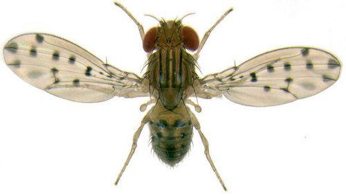 Ученые впервые проследили за работой мускулов насекомого в полете