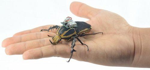 Управляемые жуки-киборги (4 фото + видео)